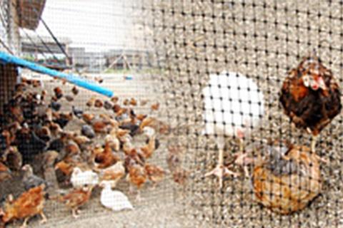 宮崎地頭鶏